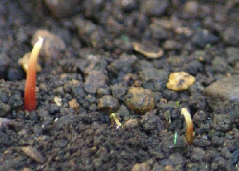ライチの芽