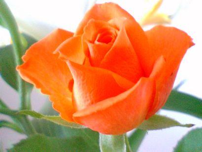 Happy Birthdayのバラの花