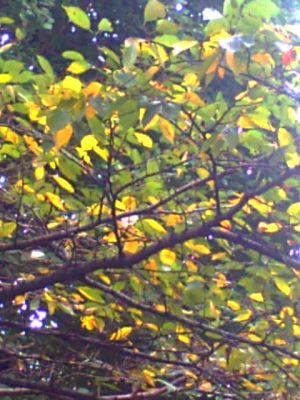 国立・大学通りの桜の木