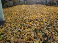 イチョウ絨毯2