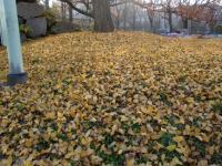 イチョウ絨毯1