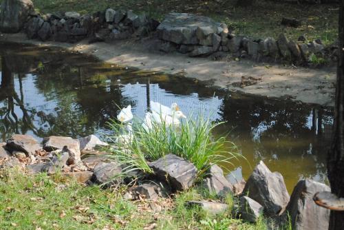 赤塚山公園アヒル
