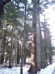 杉の巨木が連なります!