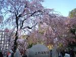 上野恩賜公園の桜♪