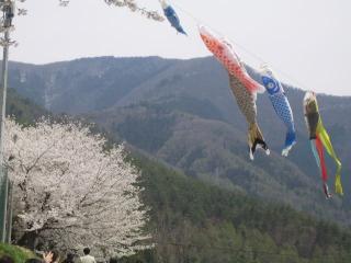 桜とこいのぼり
