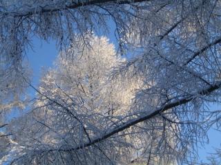 雪のカラマツ
