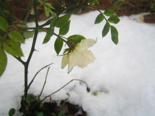 雪に埋もれたバラ