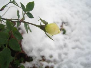 凍りかけた蕾