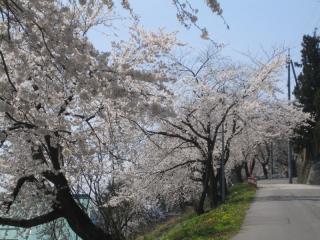 一中の桜 満開です。
