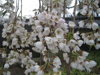 カップ咲きの桜