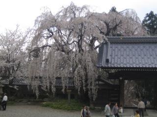 谷厳寺のしだれ桜
