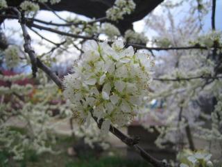 緑色の桜?