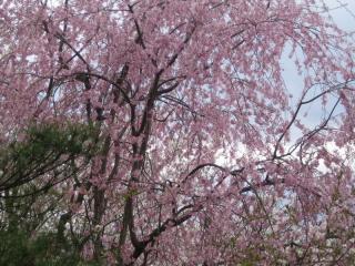 色とりどりの桜