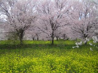 桜との菜の花