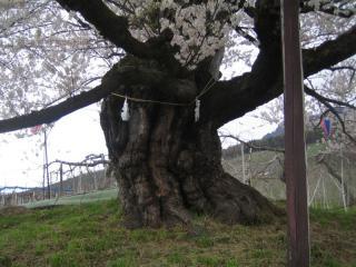宇木のエドヒガン 幹