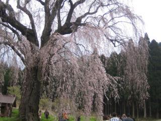 しだれ桜の枝