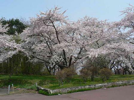 桜見事ですな