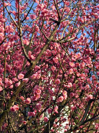 2008-02-11 桃の花2