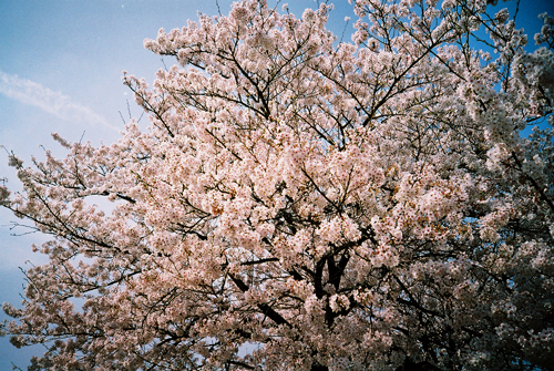LOMO桜