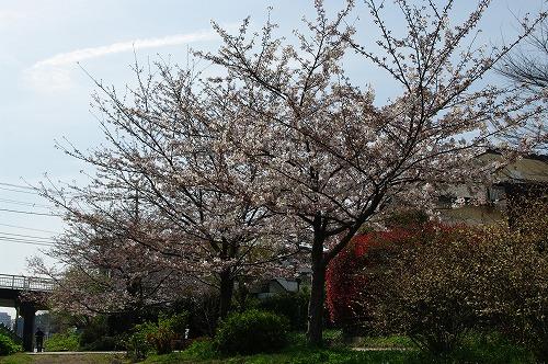 陽だまりの桜