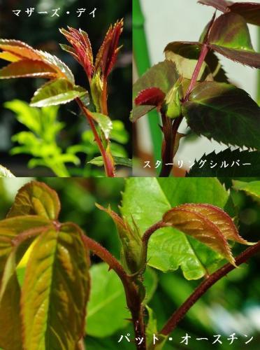 薔薇の花芽