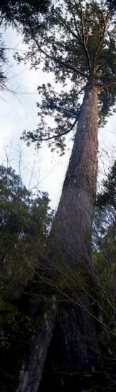 20080530-三代杉