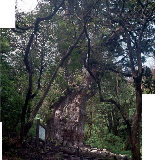 20080603-縄文杉3-2