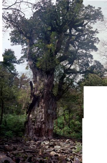 20080603-縄文杉4