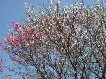 三色の花の桜(全体)