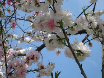 三色の花の桜