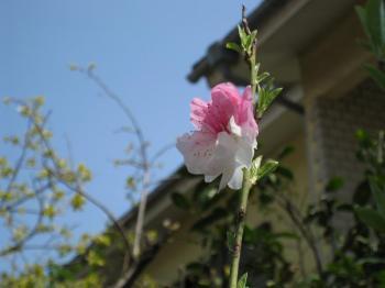 三色の花の桜(アップ)