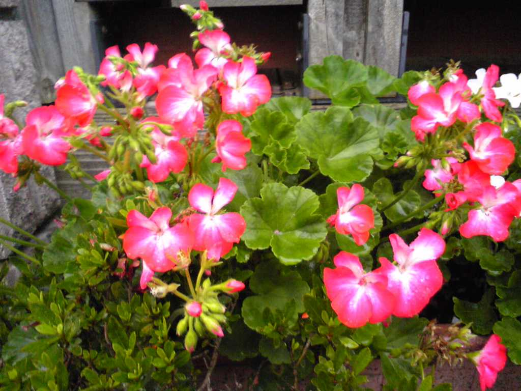 Real pink flowers