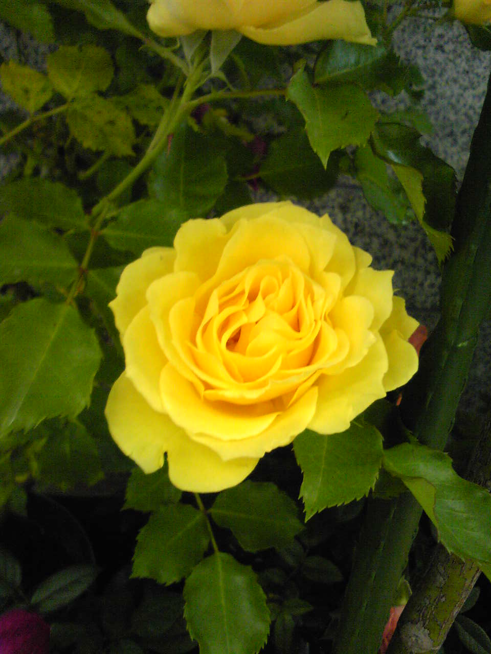 An yellow rose