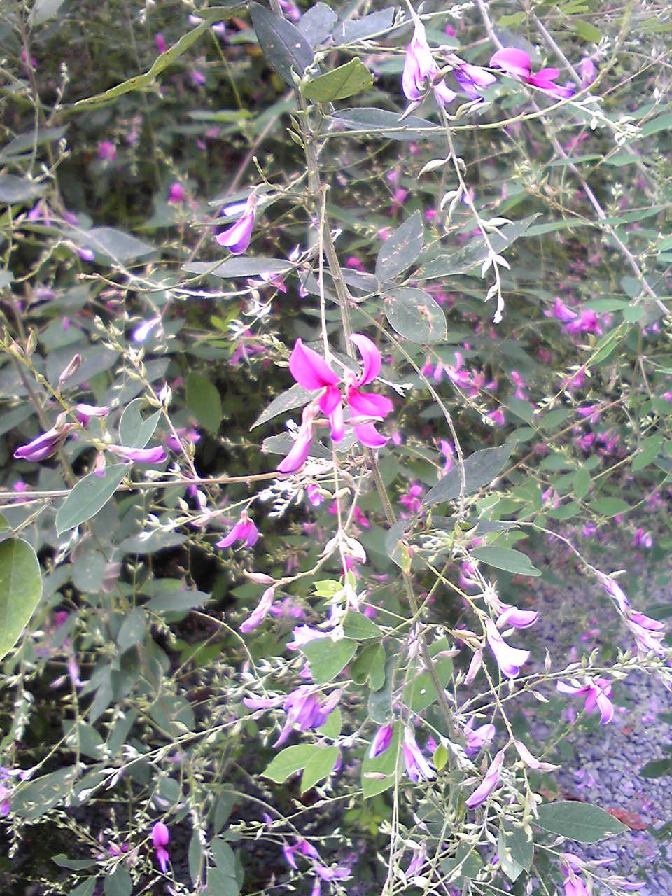 Hagi flowers