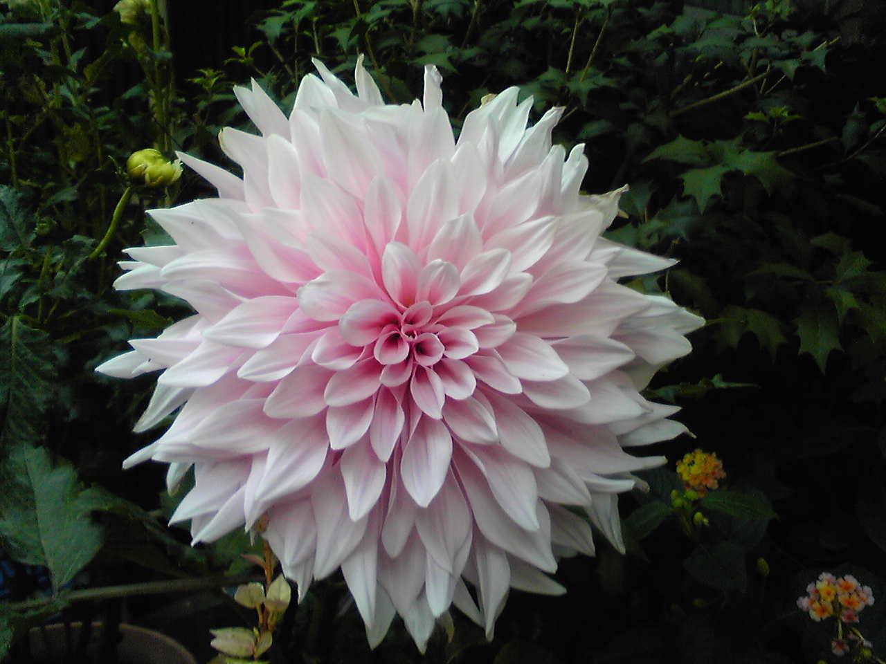 a pink big flower