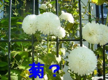 PB130239菊