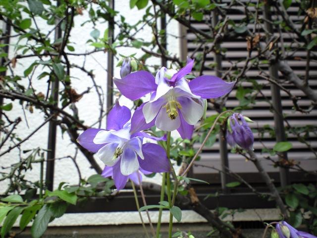 オダマキ(白×紫)