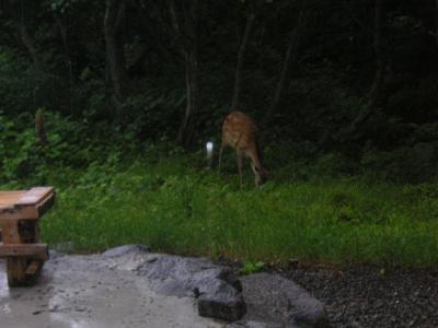 熊の湯の鹿