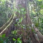 マレーシアの材木 メランティ1