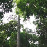 マレーシアの材木 メランテイ2