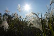 ススキと太陽