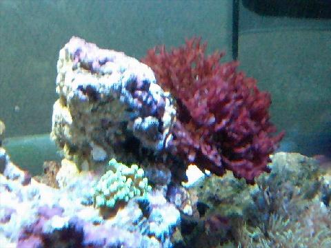 海藻レッド080212