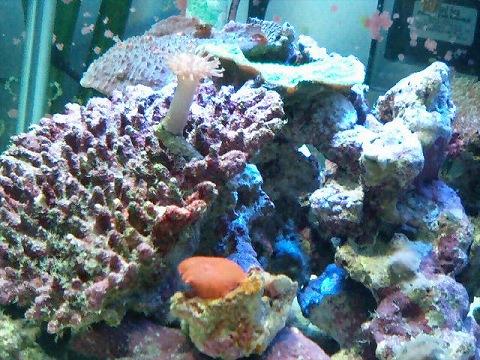 水槽左側サンゴ080713