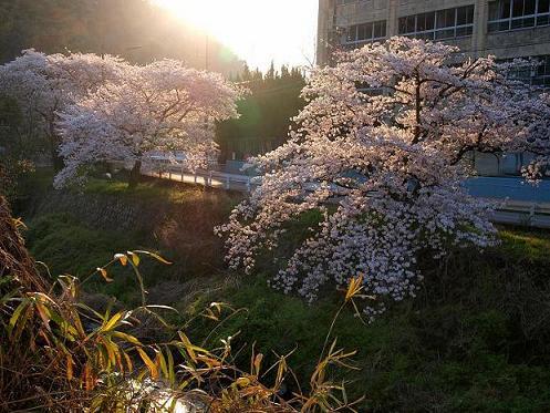 asahisakura11_20090409103336.jpg