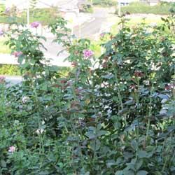 庭のバラ4