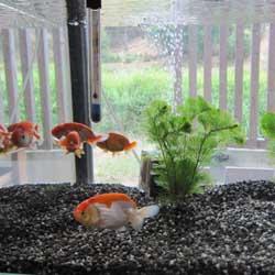 家の金魚1