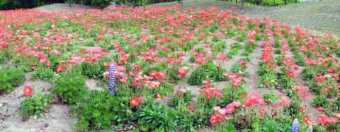 秩父ニューズパーク花の回廊