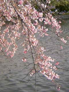 桑名市九華公園の枝垂れ桜