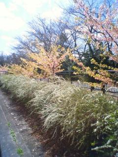 河津桜と雪柳です。