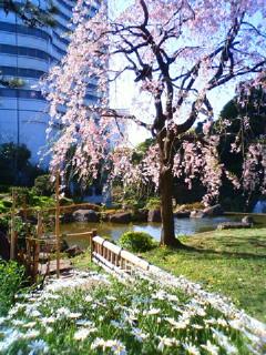 ホテルの庭に咲く、枝垂れ桜とマーガレットの花です。